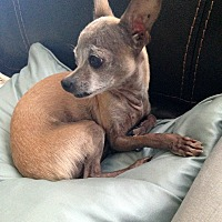 Chihuahua Dog for adoption in Verona, New Jersey - Reeses