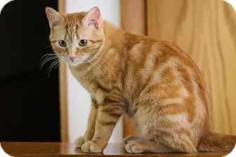 Domestic Shorthair Cat for adoption in Princeton, Minnesota - Peaches