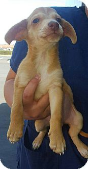 Terrier (Unknown Type, Small)/Chihuahua Mix Puppy for adoption in Renton, Washington - Cruise