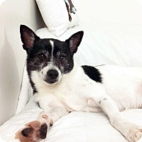 Shiba Inu/Terrier (Unknown Type, Small) Mix Dog for adoption in New York, New York - Aldo! *FOSTER NEEDED!*