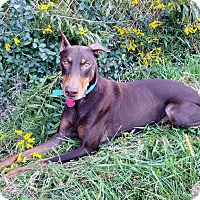 Doberman Pinscher Dog for adoption in New Richmond, Ohio - Pippa
