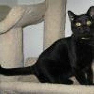 Domestic Shorthair Cat for adoption in Powell, Ohio - Zepher