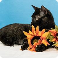 Domestic Shorthair Kitten for adoption in Houston, Texas - Cholula