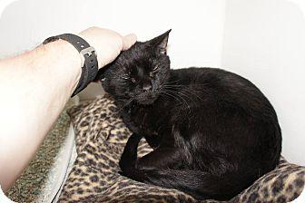 Domestic Shorthair Cat for adoption in Henderson, North Carolina - Luna
