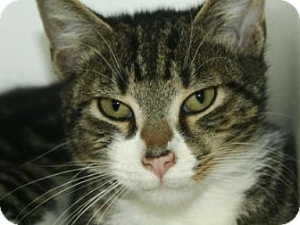 Domestic Shorthair Cat for adoption in New York, New York - Albie