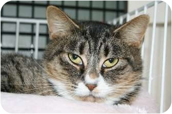 Domestic Shorthair Cat for adoption in Frederick, Maryland - Polly Anne and Tally Sue