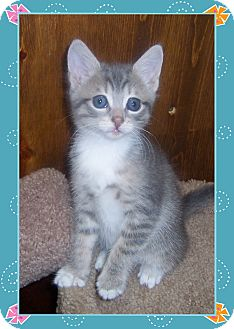 Domestic Shorthair Kitten for adoption in South Plainfield, New Jersey - Tootsie
