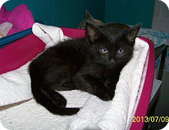 Domestic Shorthair Kitten for adoption in Dover, Ohio - Gigi