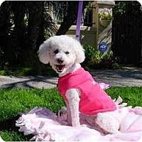 Adopt A Pet :: Cookie the Cutie - La Costa, CA