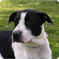 Adopt A Pet :: Desi - Rigaud, QC