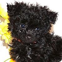 Adopt A Pet :: *Poppy - PENDING - Westport, CT