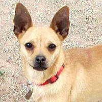 Chihuahua Dog for adoption in Phoenix, Arizona - Dot