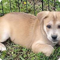 Adopt A Pet :: Tyson - Waller, TX
