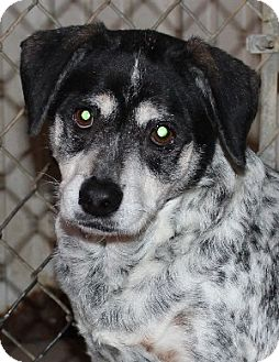 Blue Heeler Mix Dog for adoption in Savannah, Missouri - Freddie