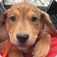 Adopt A Pet :: Brooke - Oakland, AR