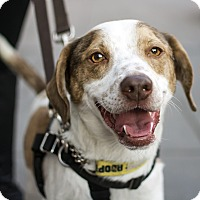 Adopt A Pet :: Coach Taylor - Jersey City, NJ
