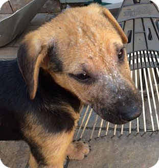 German Shepherd Dog/Plott Hound Mix Puppy for adoption in Fort Collins, Colorado - Nyla