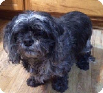 Shih Tzu Mix Dog for adoption in Georgetown, Colorado - Freddy