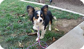 Papillon Dog for adoption in Fountain Valley, California - Guiness