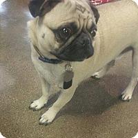 Pug Dog for adoption in Gardena, California - Jasper