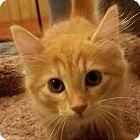 Domestic Mediumhair Kitten for adoption in Colfax, Iowa - Dallas