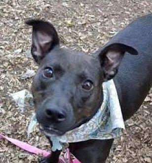 Labrador Retriever Mix Dog for adoption in Alpharetta, Georgia - AmeliaBedilia