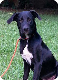 Labrador Retriever/Border Collie Mix Puppy for adoption in Mobile, Alabama - Travis