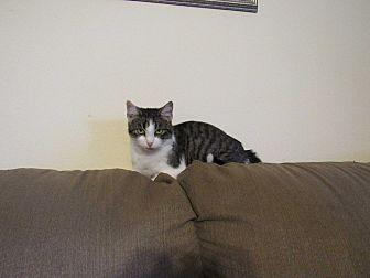 Domestic Shorthair Cat for adoption in Hazard, Kentucky - Kit Kat