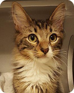 Domestic Longhair Kitten for adoption in Grayslake, Illinois - Sourdough