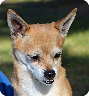 Chihuahua Mix Dog for adoption in Mountain Center, California - Gordon
