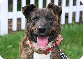 Shepherd (Unknown Type)/Terrier (Unknown Type, Medium) Mix Dog for adoption in South Bend, Indiana - Pauley