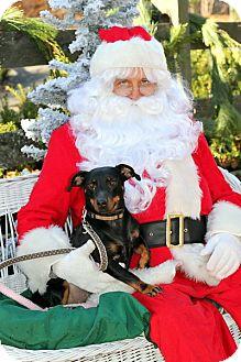 Miniature Pinscher/Dachshund Mix Dog for adoption in Glastonbury, Connecticut - Winnie the Pinnie~meet me~