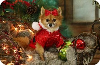 Pomeranian Dog for adoption in Dallas, Texas - Indy - Raccoon face