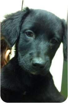 Labrador Retriever Mix Puppy for adoption in Hagerstown, Maryland - Misti