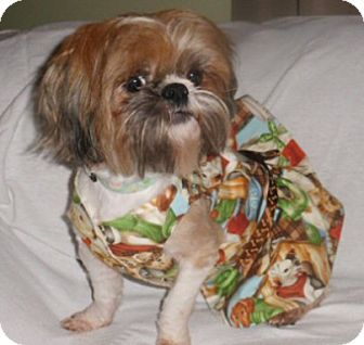 Shih Tzu Puppy for adoption in Mooy, Alabama - Sadie