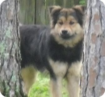 German Shepherd Dog/Chow Chow Mix Dog for adoption in Odessa, Florida - BOGIE