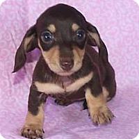 Adopt A Pet :: PAISLEY (aka BEAN) - Portland, OR