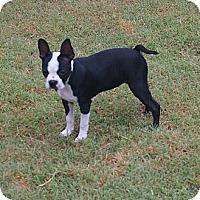 Adopt A Pet :: Beans - Plano, TX