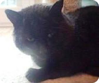 Domestic Mediumhair Cat for adoption in Burlington, Ontario - Shadow
