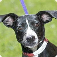 Adopt A Pet :: Clover - Brookfield, WI