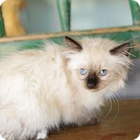 Adopt A Pet :: Salidu - San Antonio, TX