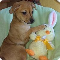 Adopt A Pet :: Blossom - Crestview, FL