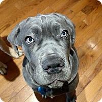 Adopt A Pet :: Remington - Virginia Beach, VA