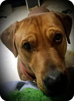 Labrador Retriever Mix Dog for adoption in Toledo, Ohio - Brody