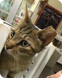 Domestic Shorthair Cat for adoption in Columbus, Georgia - Fenway 6447