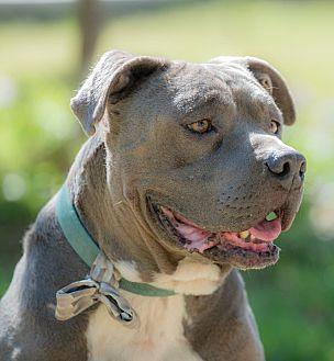 American Staffordshire Terrier Mix Dog for adoption in Santa Monica, California - Winston