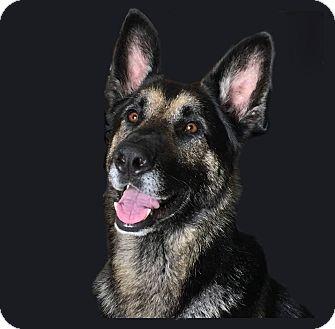 German Shepherd Dog Mix Dog for adoption in Alameda, California - Dino