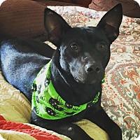 Adopt A Pet :: Hermoine - Franklin, TN