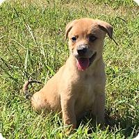 Adopt A Pet :: Brie - Allentown, PA