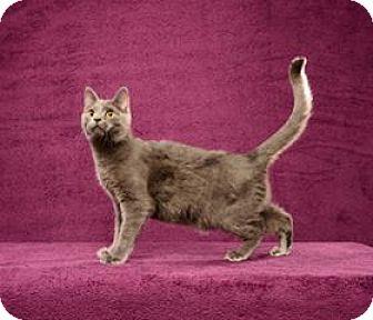 Russian Blue Cat for adoption in Cary, North Carolina - Ronaldo (Kitten)